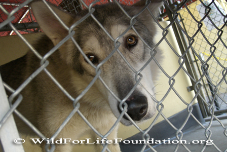Rescued wolfdog