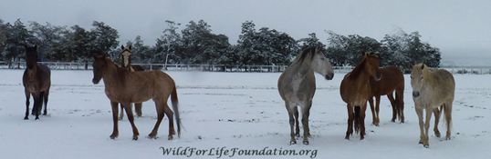 WFLF Sanctuary Mustangs