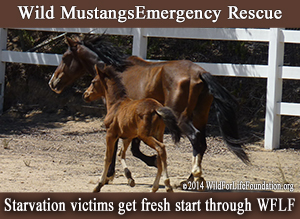 Wild horse emergency rescue 2014